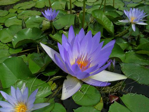 The Lotus And Water Lily Iconography Symbolism And Botanical Confusion