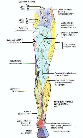 Nerves Of The Leg http://real-gaia.angelfire.com/sural_nerve_injury.html